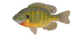 Picture of a bluegill fish